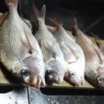 釣れてます、三浦海岸