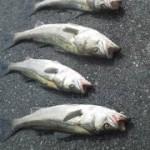 今日も大漁、三浦海岸